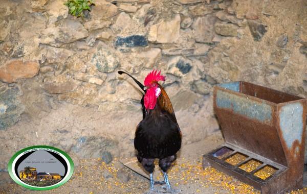 Gallo De Corral